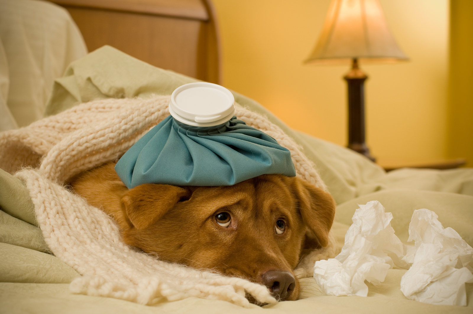 Sometimes a sick dog is a good faker! Be sure to watch for symptoms to see if your dog has kennel cough.
